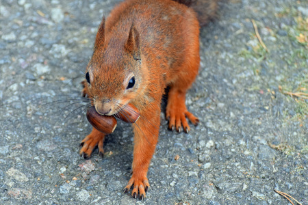 avid: Greedy squirrel. Squirrel has two acorns in mouth. Stock Photo