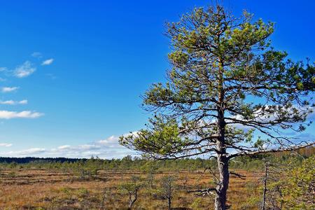 quagmire: Pine on bog. Blue sky on background.