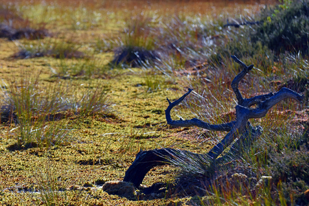 wetland conservation: Bog closeup. Dead tree on foreground with wet moss and grass.