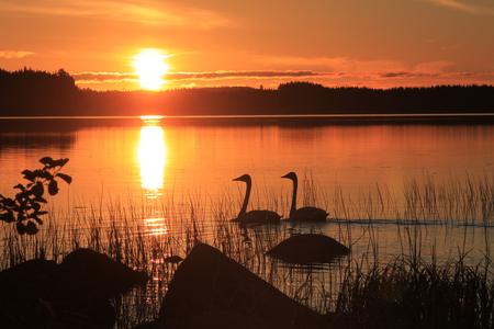 Sunset with swans Фото со стока