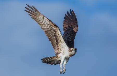 osprey: Soaring osprey Stock Photo