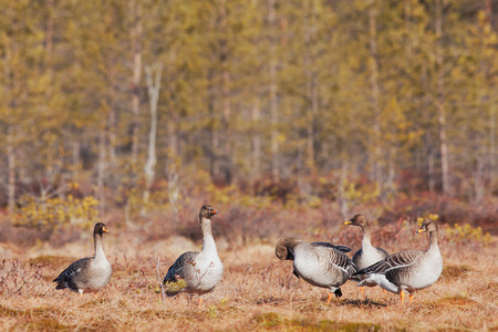 fabalis: Bean geese resting on a swamp during the migration Stock Photo