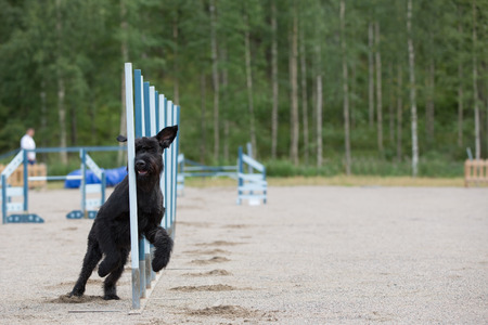 Schnauzer in the agility competition in slalom obstacle photo