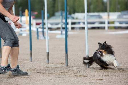 Shetland Sheepdog in the agility competition in slalom obstacle photo