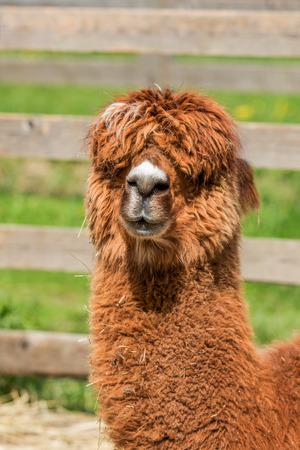 muffle: Alpaca in a petting zoo