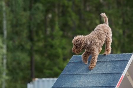 dog agility: Dog climbing an A-frame at a dog agility competition