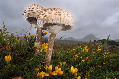 Two beautiful mushrooms in a field with yellow small flowers Stock Photo