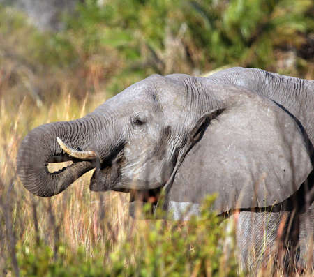 Adult elephant in the nature background Stock Photo