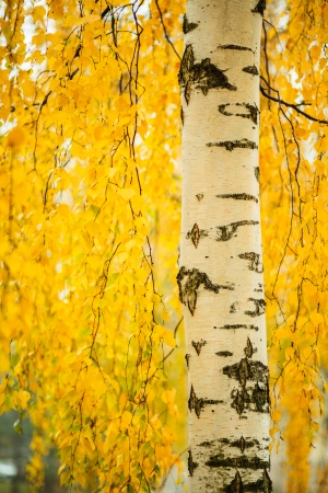 Birch trunk and vibrant yellow leaves photo