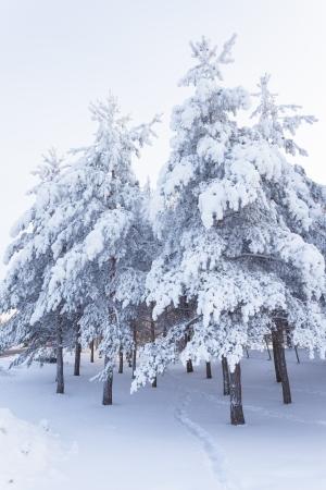Trees full of snow photo