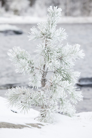 Small tree covered in snow photo