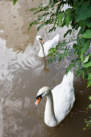 Two curious swans in city river swimming very close photo