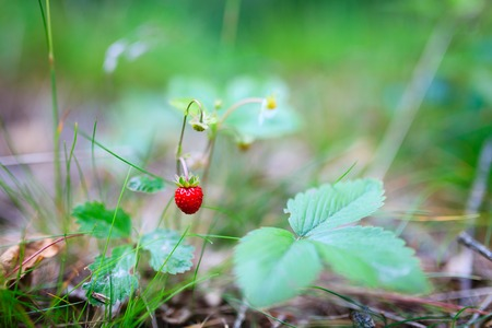 wild strawberry: Fresh natural wild strawberry Stock Photo