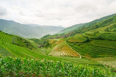 arroz chino: Campos chinos del arroz Foto de archivo