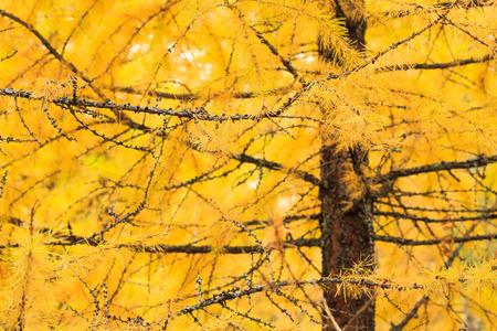 Autumn yellow larch tree Stock Photo