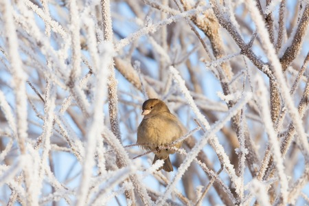 Sparrow sitting in frost bush photo