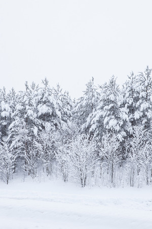 snowbanks: Forest trees covered in snow on a overcast day