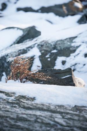 sere: Wild heather at winter