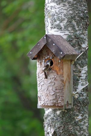 european white birch: Birdhouse and tiny bird