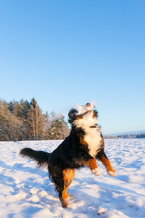 boule de neige: Chien boule de neige attraper