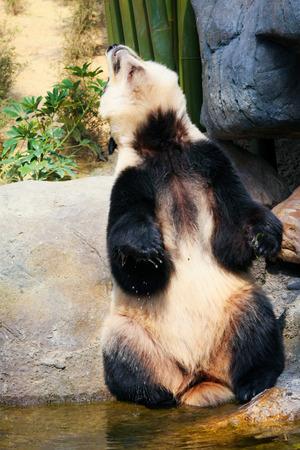 near: Panda near water
