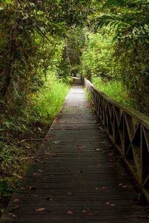 dense: Boardwalk in dense rainforest