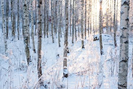 눈 덮인 자작 나무 숲과 태양 빛