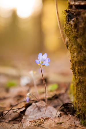 hepatica: Hepatica nobilis beautiful sunlight