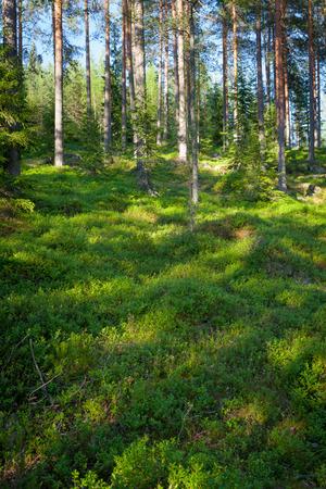 Finse bos in de zomer Stockfoto