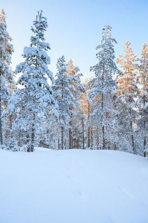 pine trees: Snowy forest at winter