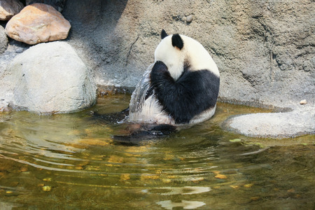 panda: Giant panda sitting in water