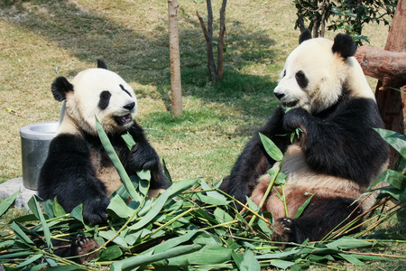 Twee panda's eten bamboe