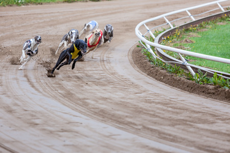 race: Greyhound dogs racing