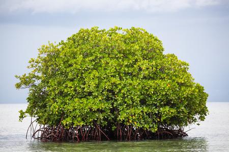mangrove: Mangrove tree in water Stock Photo