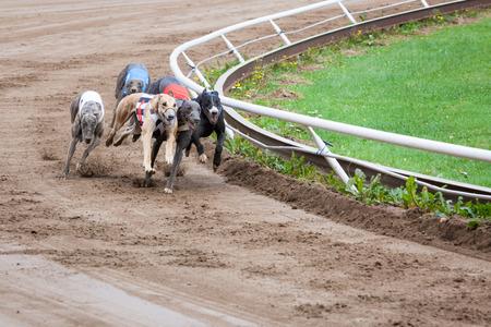 Greyhound honden racen