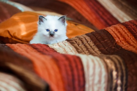 birman kitten: Cute birman kitten sitting on bed Stock Photo