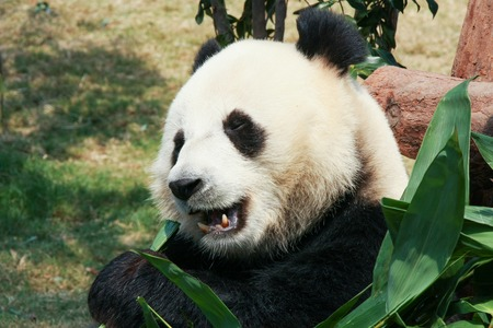 oso panda: Panda que come el bambú