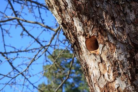 nest: Woodpecker nest in apple tree