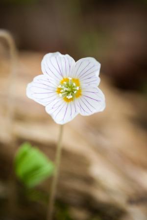 wood sorrel: Peque�o madera flor acedera