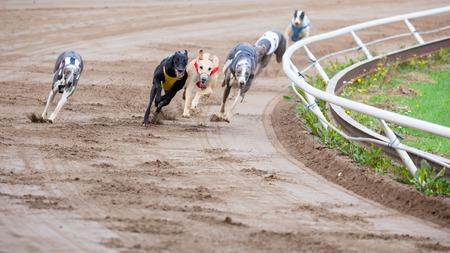 Cani Greyhound da corsa