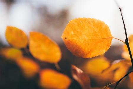 Orange autumn leaves on tree