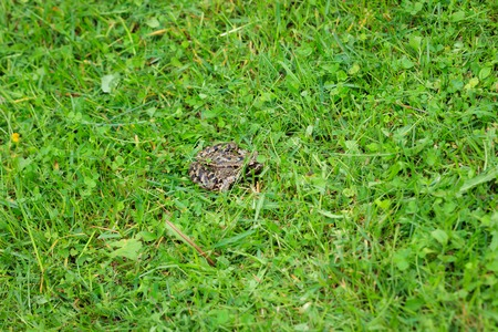 common hop: Little frog on grass Stock Photo
