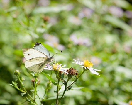 brassicae: Butterfly on a flower at sunny day Stock Photo