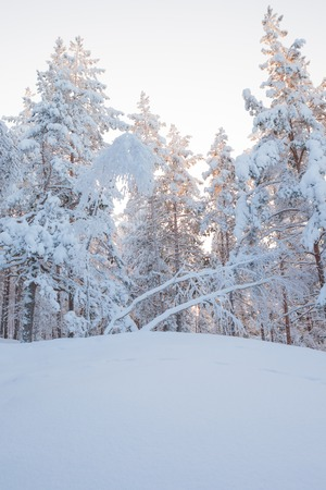 scenic  landscape: Winter forest trees covered in snow at sunset time