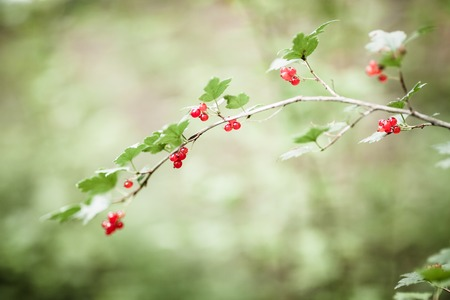ribes: Ribes alpinum red berries and blurry background Stock Photo