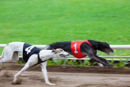 Greyhound dogs racing on sand track