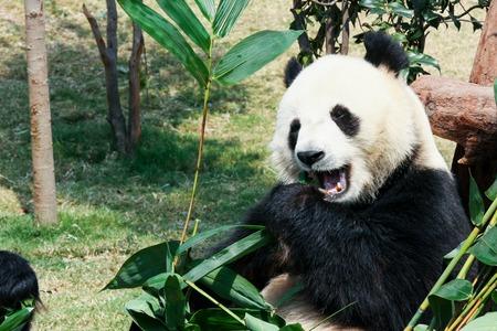 oso panda: Panda gigante comiendo bamb�