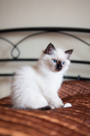 beautiful eye: Astonished white sacred birman cat sitting on bed Stock Photo