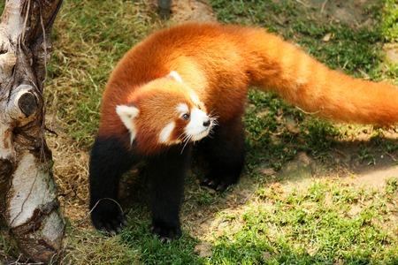 sneak: Red panda walking at zoo Stock Photo