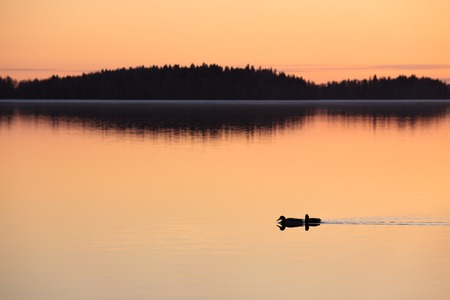two ducks: Two ducks swimming in lake at sunset time